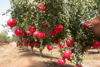 Anar-Pomegranate-
