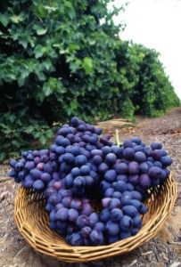 Autumn_Royal_grapes