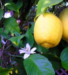 Lemon_8FruitAndFlower_wb