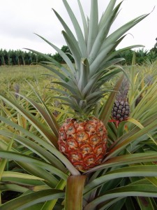 ananas-copie-1