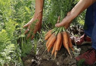 carottes-1357218900-l650-h474-c