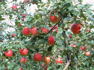 fruit_apple_apple-tree_