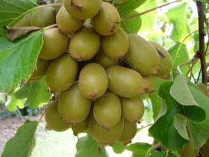 kiwifruit_352