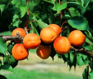 l-abricot--copie-1