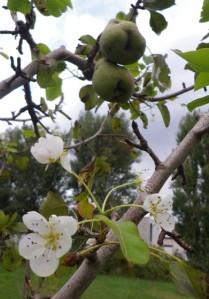 med-fleurs-et-fruit-sur-un-poirier-visoflora-41003