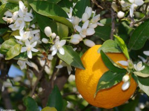 orange__blossoms