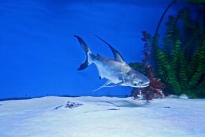 pangasius-hypophthalmus-iridescent-shark-aquarium