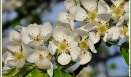 poirier-en-fleurs