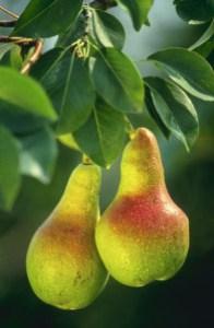 roquefort poires