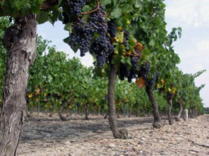 vignes_raisins